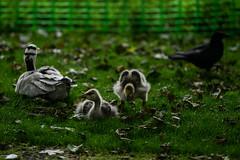 Bar-headed goslings don't like crows (PChamaeleoMH) Tags: barheadedgeese birds centrallondon goslings london stjamesspark