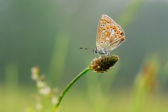Resting (peeteninge) Tags: commonblue butterfly insects animals nature vlinder dier natuur closeup fujifilmxt2 fujifilm xf80mmf28