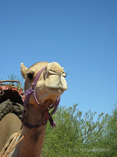 One of the camels providing 2 camel power for Karl's vehicle