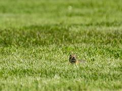 P5310552 (turbok) Tags: ebene landschaft seewinkel säugetiere tiere wildtiere zieselspermophilussyncitellus c kurt krimberger