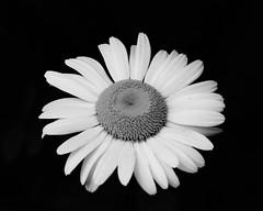 Simplified Beauty (thetrick113) Tags: simplified beauty daisy dicot newburghnewyork orangecountynewyork hudsonvalley hudsonrivervalley blackandwhite sonyslta65v plant flower spring spring2018 2018 petal