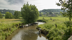 Paddling on a very warm day in May (Ruud.) Tags: ruudschreuder nikon nikond850 d850 zuidlimburg limburg limburgslandschap netherlands landschap landscape paysage holland paysbas dutchlandscape koe koeien cow cows kuh vache