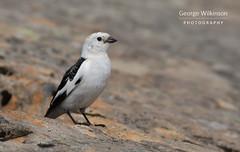 Snow Bunting (Plectrophenax nivalis) (George Wilkinson) Tags: snow bunting plectrophenaxnivalis ben nevis highland scotland mountain canon 7d mk ii wildlife bird montane