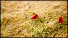 red poppies in a golden field (RalfK61) Tags: 2018 mohnblüten 06 felder juni