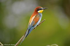 Gruccione _035 (Rolando CRINITI) Tags: gruccione uccelli uccello birds ornitologia santalbanostura natura