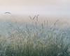 Backlit Grasses (jactoll) Tags: alcester warwickshire dawn dawnmist mist misty grass grasses light landscape sony a7iii 70200mmf4 jactoll