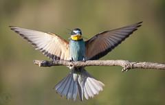 ......a great breakfast (Fabrizio Comizzoli) Tags: gruccione merops apiaster birds fly