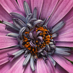 Art From The Heart ... (AnyMotion) Tags: doublecapedaisy osteospermum kapkörbchen gefüllt petals blütenblätter blossom blüte center zentrum stamens staubgefäse 2018 plants pflanzen anymotion nature natur blumen floral flowers frankfurt 6d canoneos6d garden garten colours colors farben pink rosa orange macro makro makroaufnahmen spring frühling primavera printemps square 1600x1600 ngc npc