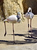Oh Look, I can stand on one leg (gerard eder) Tags: world travel reise viajes europa europe españa spain spanien städte stadtlandschaft valencia bioparc zoo zoologico tierpark flamingos animals animales tiere fauna natur nature naturaleza outdoor