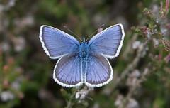 Silver Studded Blue- Topside (snapp3r) Tags: butterfly buxtonheath silverstuddedblue