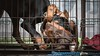 Wrestling caged match (zola.kovacsh) Tags: outdoor animal pet dog club show dobermann doberman pinscher pup puppy