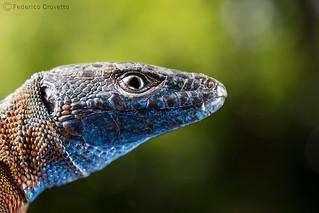 Algyroides nigropunctatus (blue-throated keeled lizard) male