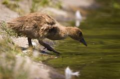 Entering water (hedera.baltica) Tags: duck mallard hybrid kaczka krzyżówka kaczkakrzyżówka sołtys anasplatyrhynchos