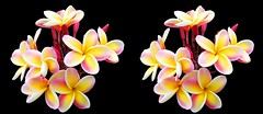 Plumerias (sleightman 3D) Tags: allrightsreserved copyrightcarlwilson 3d 3dphotography stereoview stereo stereoscopic stereogram sleightman stereoscope stereocard crosseye crossview colorful pink yellow flower flowers fragrant plumeria plumerias hawaii bud bloom blooming cluster bouquet delicate beauty beautiful pretty