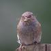 Dunnock (Danny Gibson) Tags: dunnock hedgesparrow bird birds birdwatching birdphotography wildlife wildlifephotography nature naturephotography sigma150600mmhsmosdg canon7dmk2 dgpixorguk
