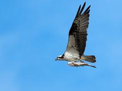 Nest-Ward Bound (Ingrid Taylar) Tags: osprey fish prey richardsonbay marin county tiburon pandionhaliaetus spring 2018 flying inflight raptor seahawk omd em1mk2 mzuiko300mm olympus