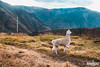 The imperial Peruvian llama. 🇵🇪 (Mando Cast) Tags: llama alpaca animal amazing mandocast mandocastphotography mandocastphoto armandocastanon blue yellow green logo wanderlust work white exotic cielo campo fields beautiful fog feeling organic awesome poetry huanuco ambo peru peruvian nature south america viaje travel view top fauna cinematic cinematography cine film vsco