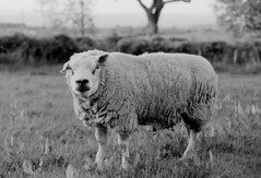 Latest Development in Lawn Mowers (russell_w_b) Tags: pentaxmx ilfordfp4 tup ram tip bucolic rural animals ilfotecddx