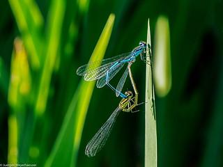 Macro Monday #AllNature Libellen-Pärchen