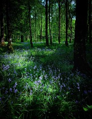 Into the blue (theclashcityrocker) Tags: bluebells inveraray velvia fujixt2 fuji