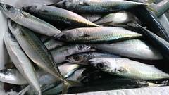 Pesce fresco (RoBeRtO!!!) Tags: rdpic fresh sea fish food occhigrossi fresco pesce azzurro mare cibo