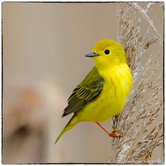 Ms. Yellow warbler (View Large) (RKop) Tags: d500 nikkor600f4evr 14xtciii ottawanwr ohio raphaelkopanphotography warblers warbler wildlife