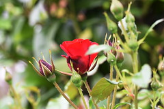 DSC_0036 (PeaTJay) Tags: nikond750 sigma reading lowerearley berkshire macro micro closeups gardens outdoors nature flora fauna plants flowers rose roses rosebuds