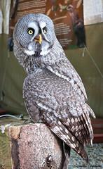Owl (LamiaDeTenebris) Tags: owl eule tier animal bird vogel schlosscherneck schlossscherneck medieval mittelalter medievalmarket mittelaltermarkt market markt festival fest ינשוף ציפור