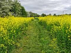 Thames Path (Mr_Pudd) Tags: buscot lechlade nationaltrail thamespath grass oilseedrape martintidbury