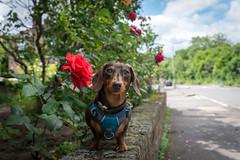 Rose Portrait (cuppyuppycake) Tags: mymaisie smooth haired miniature dachshund puppy cute adorable maisie portrait dog animalblack background