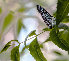 Butterfly (Balaji Photography - 4.9M views and Growing) Tags: butterfly insects insect arakkonam wings canon canon70d