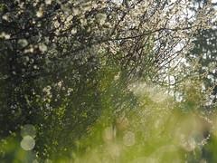 Prunus Spinosa Spring Meadow Pasture Nature Germany Bavaria Countryside © Schlehe Hecke Frühling Wiese Bayern Oberbayern © (hn.) Tags: 2018 april bavaria bayern blossom blossoming blühen blüte busch copyright copyrighted deutschland dew eu europa europe feld field flower flowering frã¼hling gaissach germany greeneland hecke hedge hedgerow heiconeumeyer meadow morgentau morningdew natur nature oberbayern pasture shrub spring strauch tau tã¶lzerland upperbavaria wiese gaisach schlehdorn prunusspinosa schlehendorn schlehe heckendorn schwarzdorn deutscheakazie sloe schlehenhecke schlehdornhecke sloehedge blackthorn
