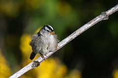 White-crowned Sparrow (Melanie Leeson) Tags: birdsofcanada birdsofbritishcolumbia whitecrownedsparrow zonotrichialeucophrys melanieleesonwildlifephotography dlsr birds 17x nikon nikonafsnikkor300mmf4epfedvr blingsister sparrows birdsofnorthamerica