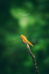 Yellow dragonfly (dassaikat031) Tags: yellow dragonfly photography photoshoot photographer photos photo nature images people color animal