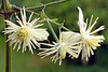 Clematis vitalba (ab.130722jvkz) Tags: wildflowers 2018botany botany ranunculaceae clematis