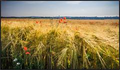poppies in the field (RalfK61) Tags: 2018 mohnblüten 06 felder juni