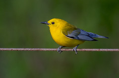 Prothonotary Warbler (snooker2009) Tags: prothonotary warbler bird migration spring fall nature wildlife pennsylvania