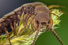 Ciempies (chilopoda) (@pabloralonso) Tags: macro macrofotografia chilopoda ciempies insecto pentax