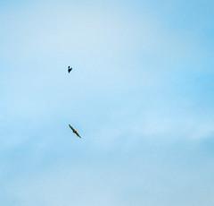 Flight Maneuvers (D300) (ssepanus) Tags: sepan pa pennsylvania clarion animals birds nikon d300 lightroom