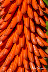 Aloe Close Up.jpg (peter.jaquire) Tags: aloe flowers plant red clusterflowers succulent overberg
