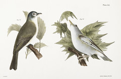 74. The Warblink Greenlet (Vireo gilvus) 75. The Red-eyed Greenlet (Vireo olivaceus) illustration from Zoology of New york (1842 - 1844) by James Ellsworth De Kay (1792-1851). (Free Public Domain Illustrations by rawpixel) Tags: bird otherkeywords animal antique cc0 creativecommon0 creativecommons0 dekay greenlet handdrawing handdrawn illustration jamesedekay jamesellsworth jamesellsworthdekay name old publicdomain redeyedgreenlet sketch vintage vireogilvus vireoolivaceus warblinkgreenlet zoologyofnewyork zoologyofny