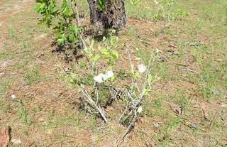 Asimina incana --  Wolly Pawpaw in flower 7095