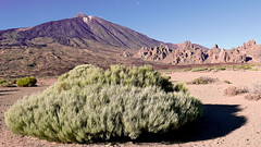 Green bush in front of Pico del Teide (foto.TŘÉŇA) Tags: afternoon attraction blue bush canary desert famous geological highest hiking holiday island landscape lava mountain peak rock scenery shadow sky spain summer teide tenerife travel volcanic volcano wild