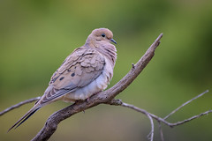 Mourning Dove (Becky Matsubara) Tags: avian bird birds california columbidae dove ebrpd eastbayregionalparks huilotacomún modo mourningdove nature outdoors sobranteridge sobranteridgeregionalpreserve tourterelletriste wildlife zenaidamacroura ebparksok