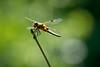 Four-spotted chaser / Vierfleck [Libellula quadrimaculata] (NEX69) Tags: cantonoflucerne ilce9 kantonluzern lucerne luzern luzernerhinterland naturlehrgebietbuchwald schweiz sonyalpha9 switzerland vierfleck fourspottedchaser libellulaquadrimaculata libelle dragonfly fe100400mmf4556gmoss