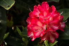 Rhododendron (Bephep2010) Tags: 2016 77 alpha blume blüte bodensee constance deutschland frühling germany insel konstanz lakeconstance mainau makro rhododendron sal50m28 slta77v sony blossom flower island isle macro red rot spring badenwürttemberg de