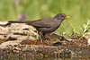 Common Blackbird ♂ Turdus merula (Roger Wasley) Tags: common blackbird male turdusmerula sierramorena spain wild bird spanish mountains