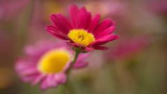 Marguerite (Argyranthemum) (Stefan Zwi.) Tags: flower blume blüte garden garten rot red margerite strauchmargerite marguerite ngc