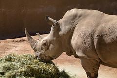 Phoenix Zoo Photo Walk-10 (marnipatterson) Tags: animal arizona capturephotocon2018 nature phoenix phoenixzoo rhino rhinoceros workshop