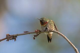 Colibri à gorge rubis (mâle) DSC1004 (In Explore 2018-05-31)